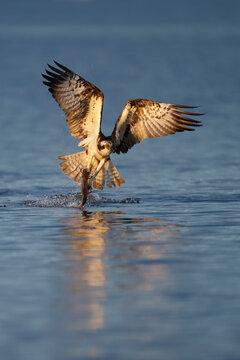 Osprey bird catch fish in a lake
