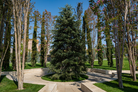 """Abies concolor or white fir. Large evergreen tree in surrounded by tall lagerstremia bushes. Public landscape """"Galician Park"""" for recreation and walks. City Park of Krasnodar or Galitsky Park."""