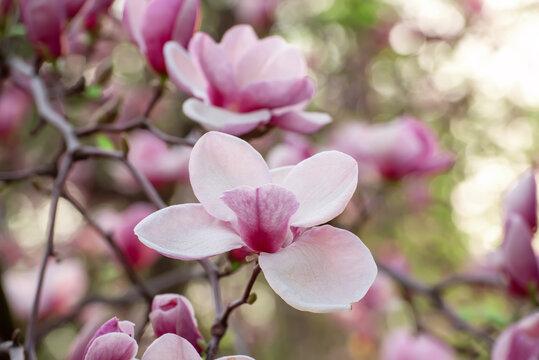 Magnolia spring flowers
