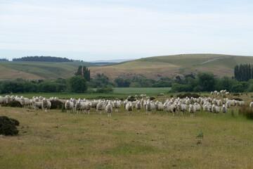 Garden Poster Sheep Nieuw Zeeland - De rust van deze schapen is wedergekeerd, na een aantal zelfmoordpogingen omdat we er langs wilden
