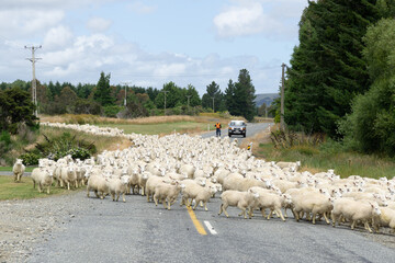 Garden Poster Sheep Nieuw Zeeland, Southland - De tienduizenden schapen worden verzameld om de lammeren te scheiden