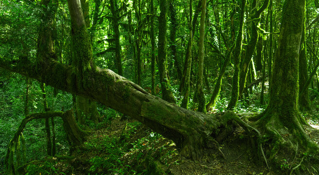 Green forest background, tropical wood. Yew-boxwood grove, Sochi National Park