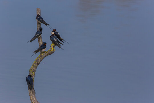 Barns swallows in Aiguamolls De L'Emporda Nature Reserve, Girona, Spain