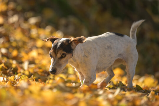 cute little senior Jack Russell Terrier. 14 years old