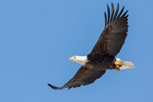A Bald Eagle Soars in a Clear Blue Sky