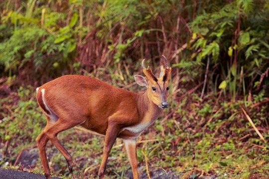 side view of barking deer in khao yai national park thailand