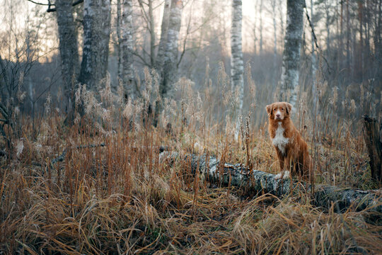 dog in the autumn forest. Nova Scotia Duck Tolling Retriever for a walk on nature at fall
