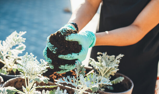 Close up photo of a caucasian woman in gloves potting planting flowers and preparing the pots