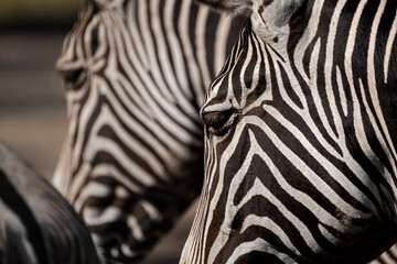 close up of zebras heads