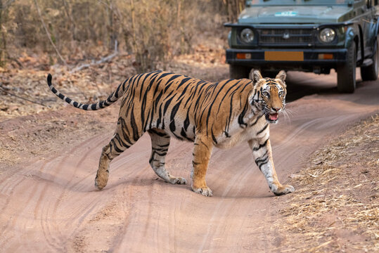 Tiger crossing road with tourist jeep in background, Bandhavgarh, Madhya Pradesh, India