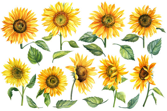 Set of watercolor bright yellow, sunflowers hand-drawn