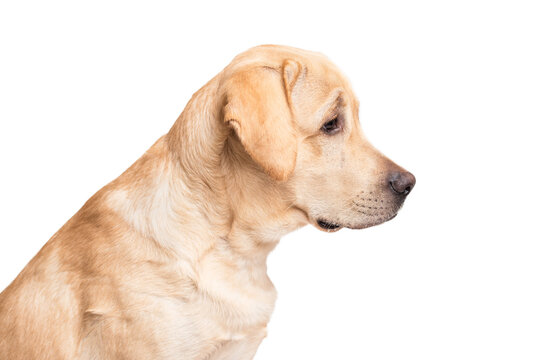 Beauty labrador retriever dog isolated on white background