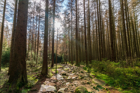 Stony path through a forest in the Harz mountains
