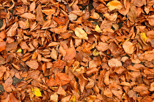 autumnal colored beech leaves on a forest floor