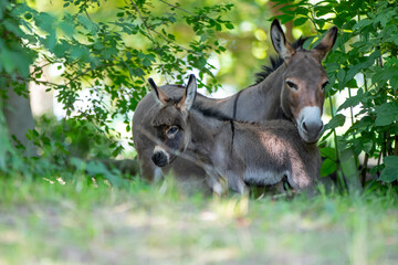 donkey foal with mother in the meadow