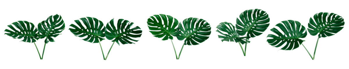 Vibrant Green Mostera Plant Leaves Against A White Background,clipping path inclu