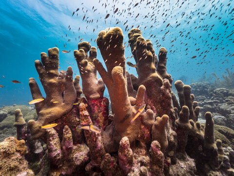 Seascape in shallow water of coral reef in Caribbean Sea / Curacao with fish, Pillar Coral and sponge