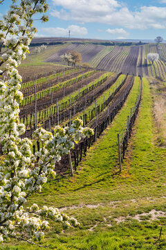 flowering cherry with vineyard near Cejkovice, Southern Moravia, Czech Republic