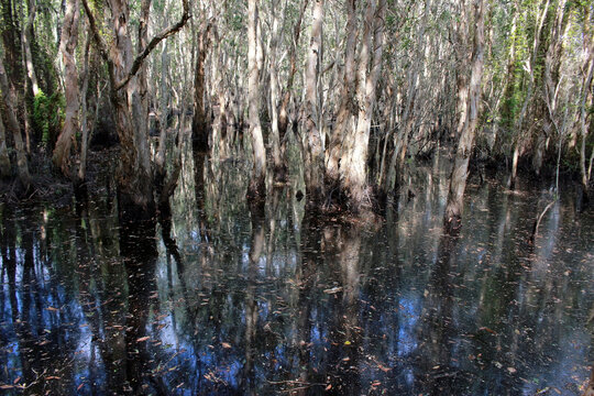Trees growing out of dark water in swamp or marshland, southeast Asai