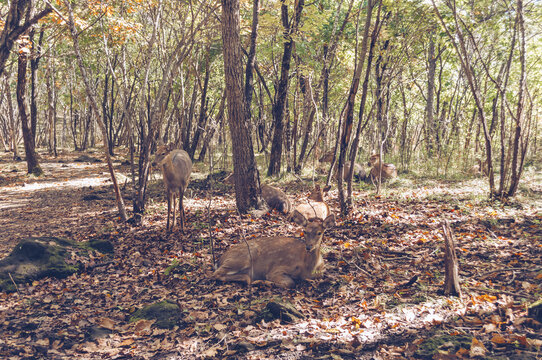 group of resting Manchurian wapitis in the forest