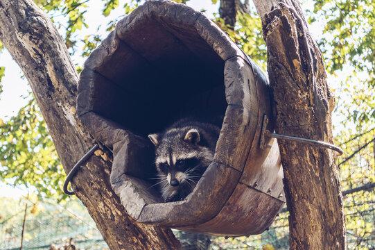 raccoon inside wooden human made house
