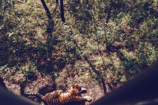 view from above on resting on the ground amur tiger