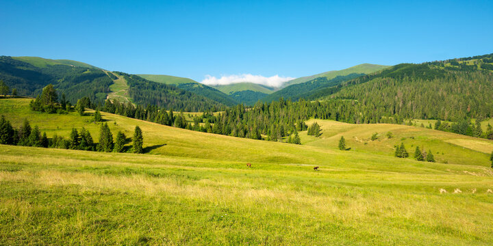 mountainous countryside in summertime. grassy field in front on the forest on rolling hills at the foot on the mountain range with alpine meadow beneath a blue sky with clouds