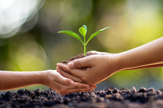 Human hands help plant seedlings in the ground, the concept of forest conservation and tree planting.