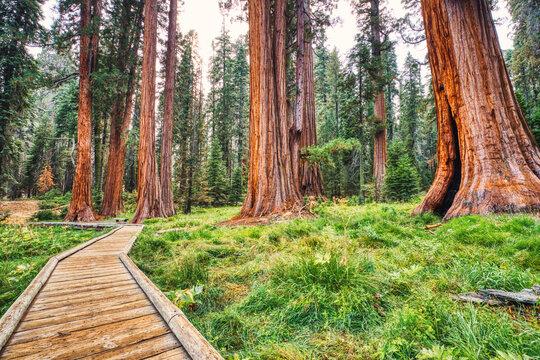 Giant Sequoias in the Sequoia National Park, California