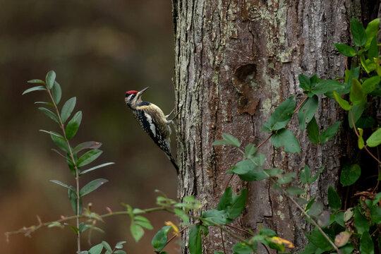Yellow-bellied Sapsucker Woodpecker