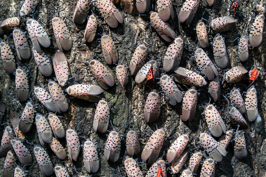 Hundreds of invasive spotted lanternflies (Lycorma delicatula) covering the trunk of their host tree, the tree of heaven (Ailanthus altissima) in Media, Pennsylvania, USA
