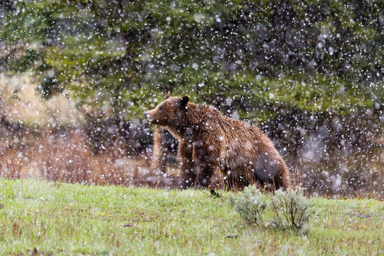 Grizzly bear standing on grass in snow storm