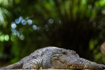 Portrait of Nile crocodile on sand