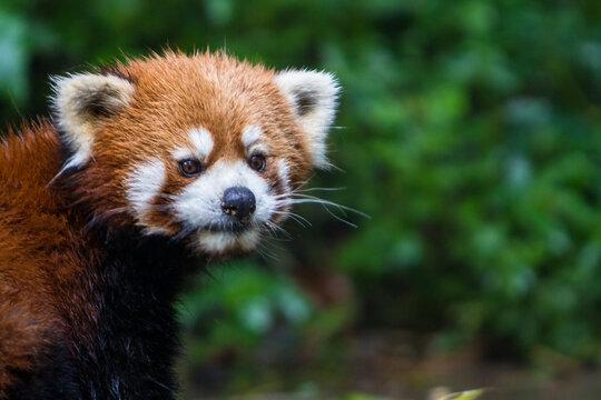 Close up of red panda