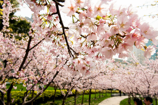 View of cherry blossom trees in Japanese garden in Shanghai