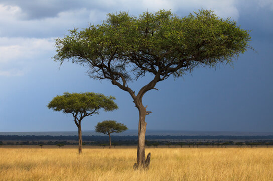 View of acacia trees on grassy landscape in Maasai Mara National Reserve