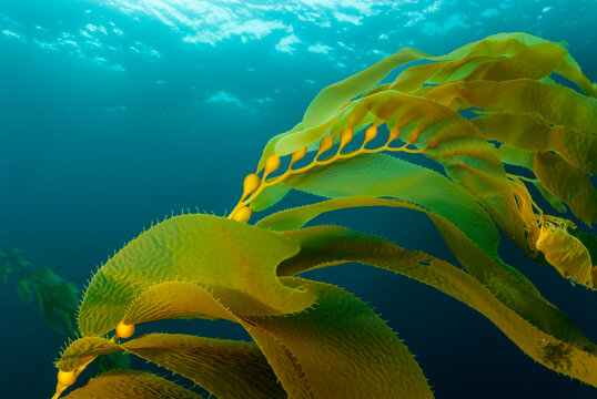 Close up of golden kelp fronds in sea