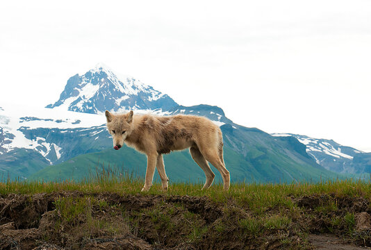 Interior Alaskan wolf standing on grassy landscape