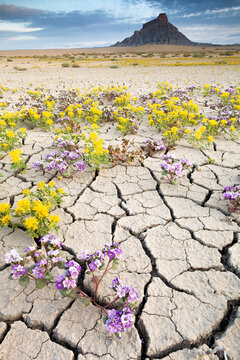 View of wildflowers growing on cracked landscape with Factory Butte in background