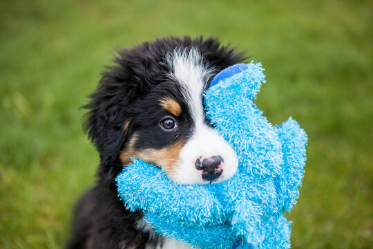 Portrait of Bernese mountain dog holding stuffed toy in mouth