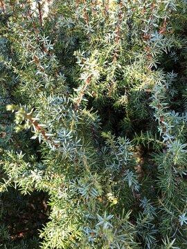 Wacholder Pflanze (Juniperus communis) im Kräutergarten