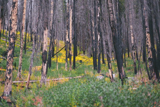 Burned Trees From A Forest Fire With New Growth