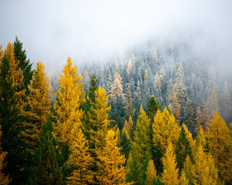 A stunning fall image of bright yellow larch trees, evergreens surrounded by fog. A fall scene.