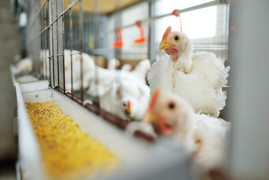 Poultry farm, raising broiler chickens. Adult chickens sit in cages and eat compound feed