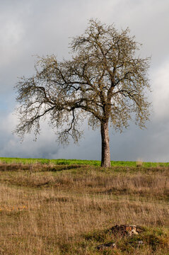 a bare apple tree in dry grassland