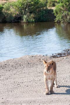 Cub lion walking away from water toward the camera.