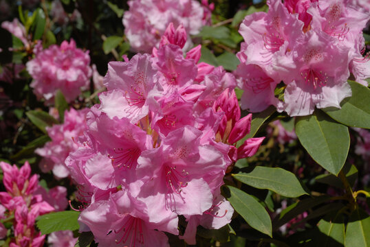 Pink rhododendron flowers in a spring garden