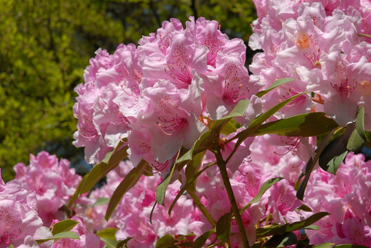 Delicate pink rhododendron blooms, flowering in a spring garden