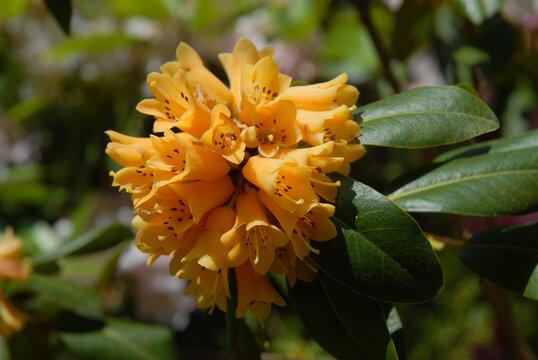Yellow, trumpet shaped Azalea flowers in spring garden