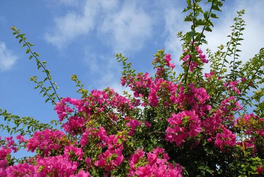 Vibrant pink Bougainvillea flowers against blue sky